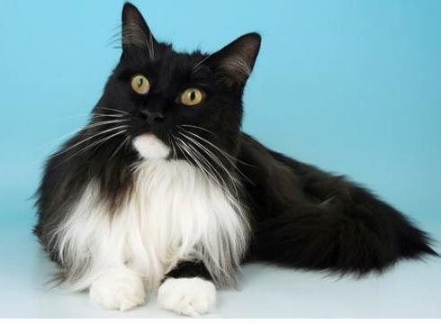 Kumpulan-Gambar-Kucing-Anggora-Cantik-dan-Lucu-Terbaru