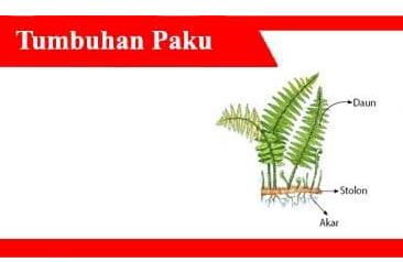 Tumbuhan-Paku-Pengertian-Ciri-Reproduksi-dan-Klasifikasi
